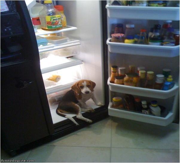 Beagle in Fridge